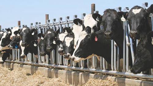 Protocolos en la Granja lechera para calidad de la carne